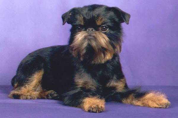 ABGA Featured Brussels Griffon